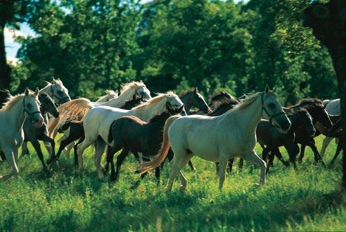 חוות הסוסים בסלובניה ליפיצה